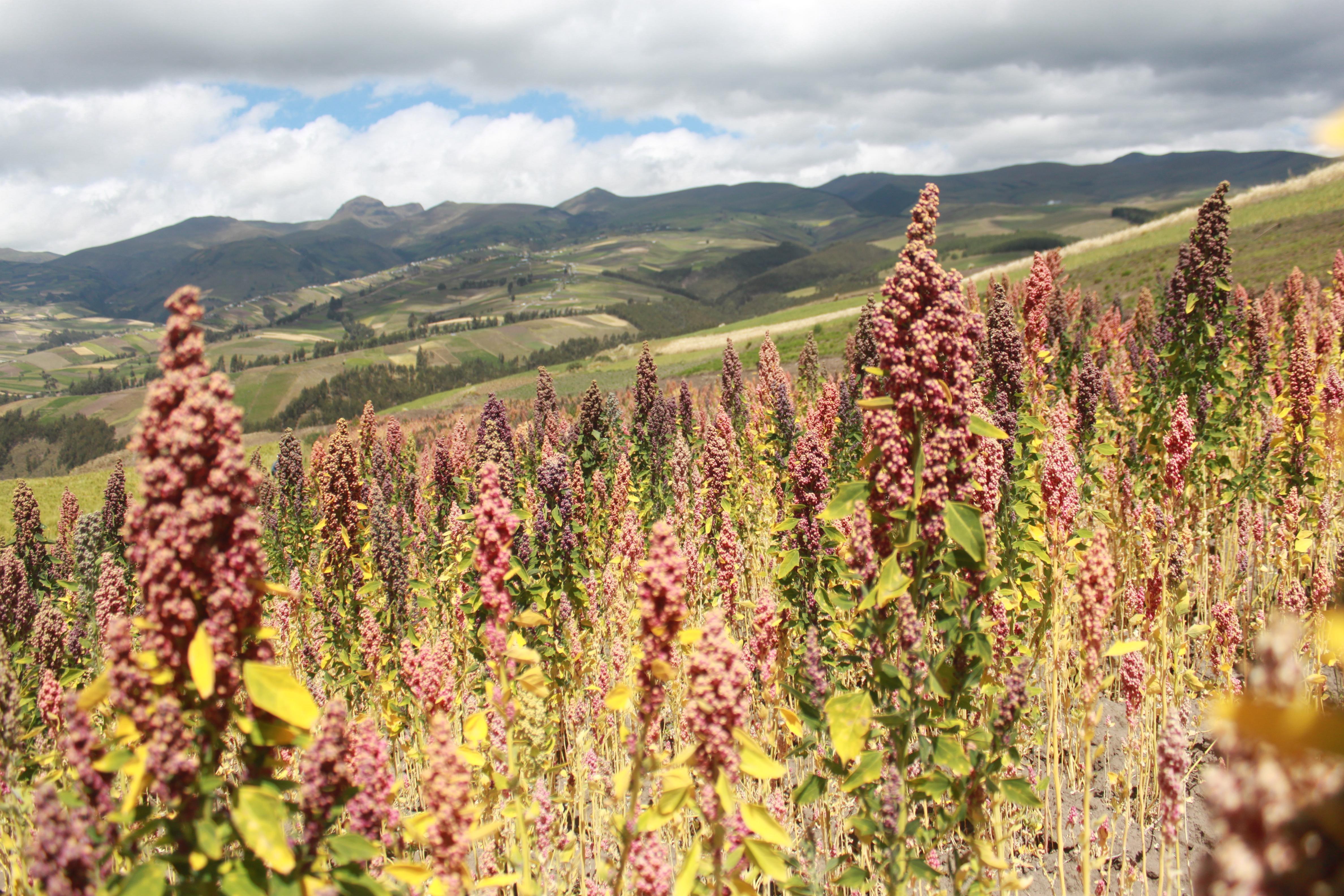 Dyrke quinoa