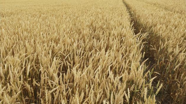 Afgrødemarked: Importørernes købsinteresse understøtter hveden