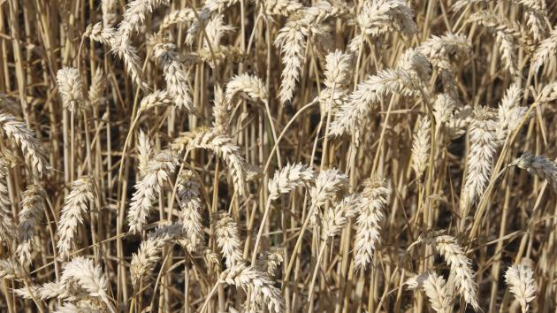 kornpriser høst 2016