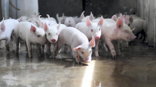 Afrikansk svinepest koster dansk storfarm i udlandet dyrt