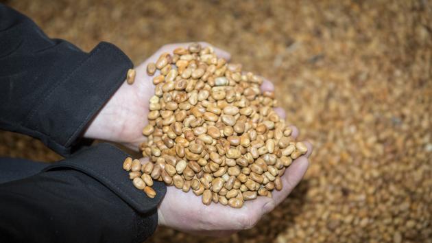 Ny forskning: Hestebønner kan erstatte soja i fremtiden