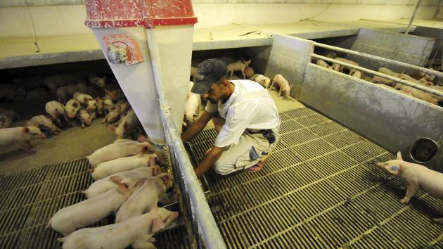 Rumæniens svinebestand i voldsom tilbagegang