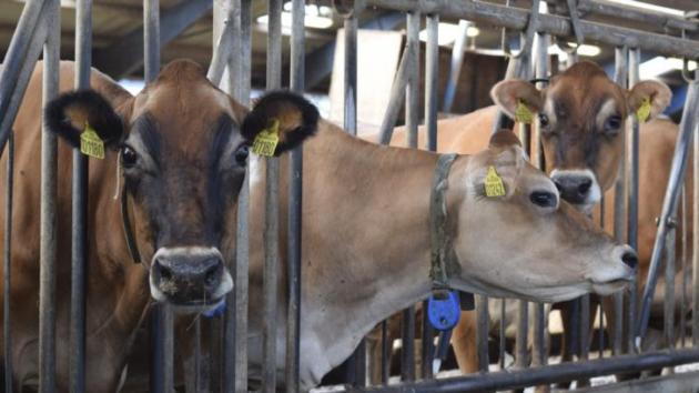 dyreenheder kvæg