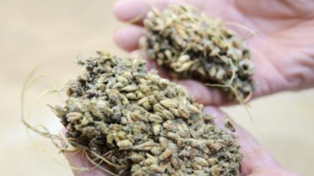 toksiner i korn