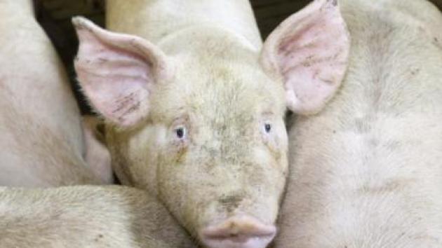 Svensk svinebesætning smittet med sjælden Salmonella-type