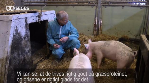 græsprotein grise græs foder forskning udvikling seges økologi