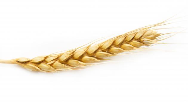 hvede korn