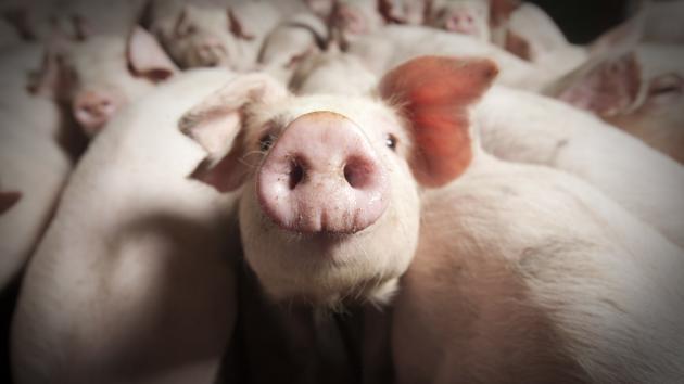 Smågrise svin