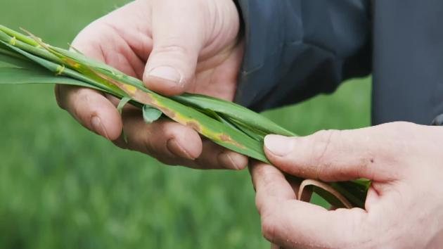 Sponsoreret Bayer: Septoria i vinterhvede