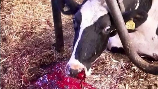hvad spiser køer