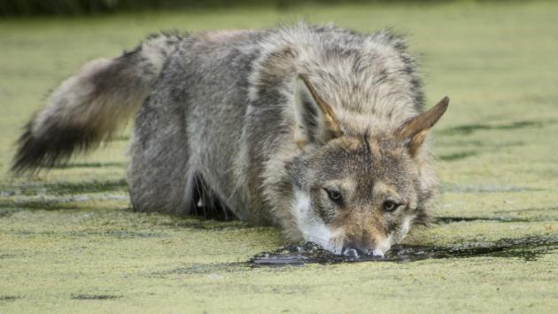 Tysk minister vil lave klare regler for håndteringen af ulve | LandbrugsAvisen