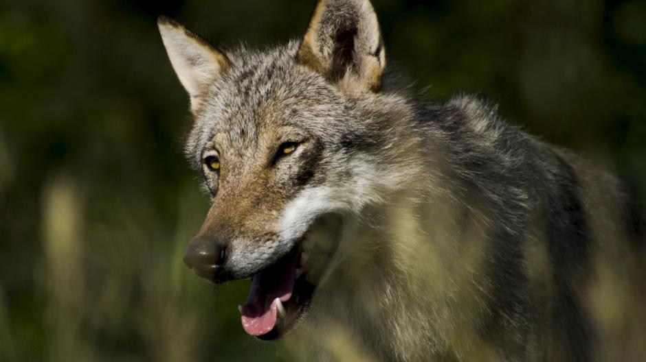 ulve i Danmark drab ulvedrab dømte jagttegn