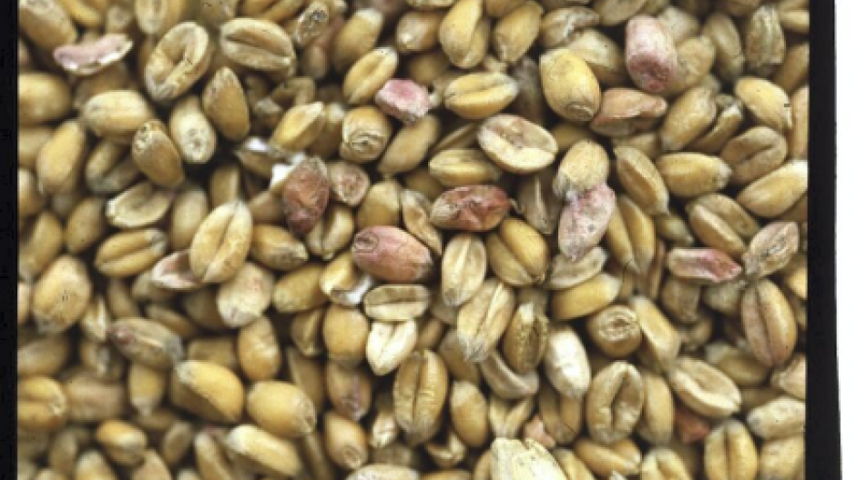 Toksiner i korn, Cancer cap nz