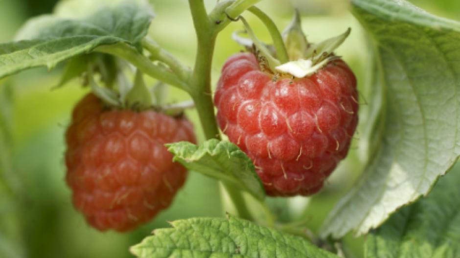 efd20de35566 Lokalt produceret frugt og grønt skal på hylderne i supermarkederne.  Foreløbig gælder det nye projekt de sjællandske leverandører og købmænd.