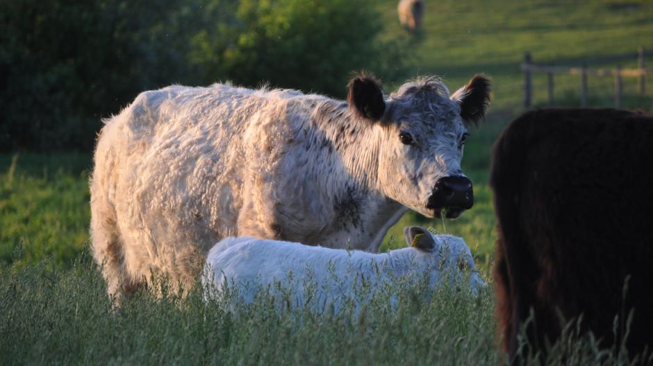 kødkvæg, naturpleje