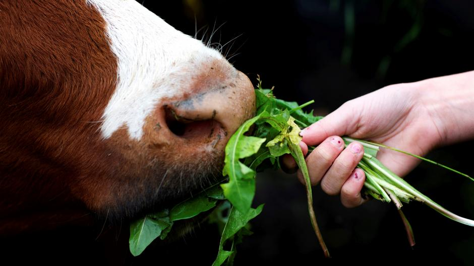 Ko fodres til Åbent Landbrug