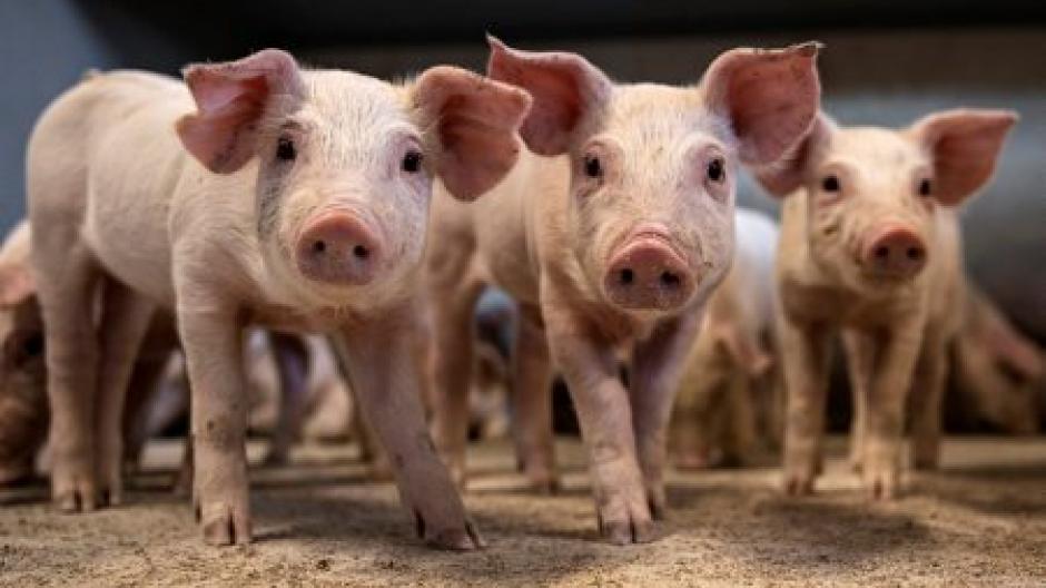 tre små svin