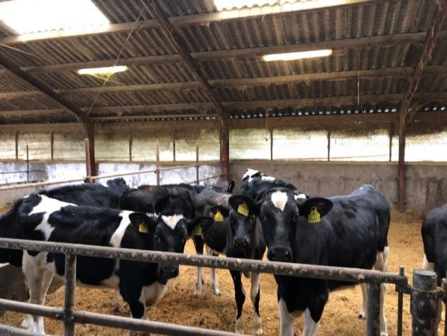 Sponsoreret MSD Animal Health: Før billede kalve