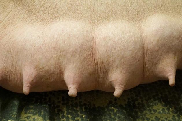 Sponsoret: Bedre malkning og stærkere grise