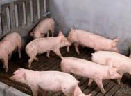 Sponsoreret MSD Animal Health: Ryger din fortjeneste i gyllekummen