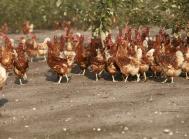 fugleinfluenza, frilandsæg