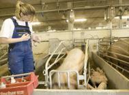 antibiotika svin resistens