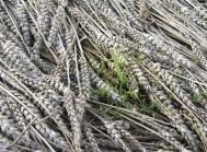 Lejesæd har flere steder ført til, at hvedekernerne har spiret i aksene.
