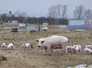 økologiske grise