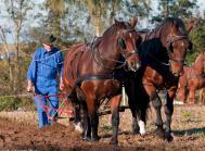 hest hestepløjning pløjning stævne