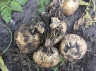 Kartoffelbrok forårsages af en algesvamp. Smittede knolde har blomkålslignende udvækster på knolde og udløbere. Også stænglen kan angribes.