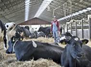 Køerne på Gjorslev Gods har god plads. Det er en af forklaringerne på den høje ydelse.