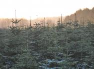 grantræer frost
