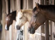 heste i stald