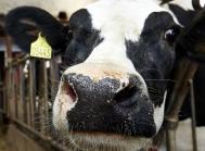 Holstein eksport kreaturer