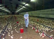 kyllinger kyllingefarm