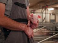 Sponsoreret European protein: Bedre malkning og stærkere grise