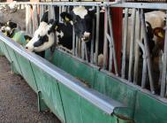 spildkant fodring kvæg køer