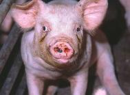 Sponsoreret MSD Animal Health: Vaccine mod nysesyge blev en teknologisk bedrift