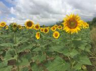 solsikker frankrig