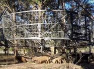 vildsvin fælde afrikansk svinepest boarbuster