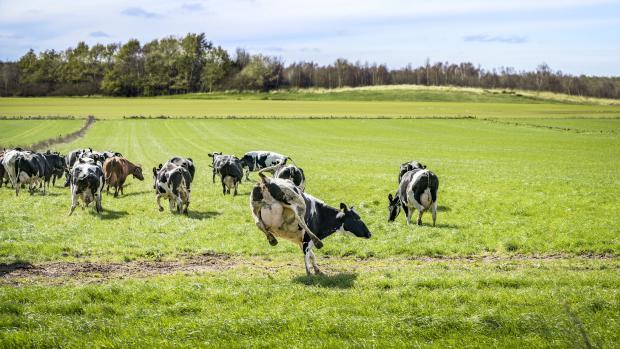 køerne danser