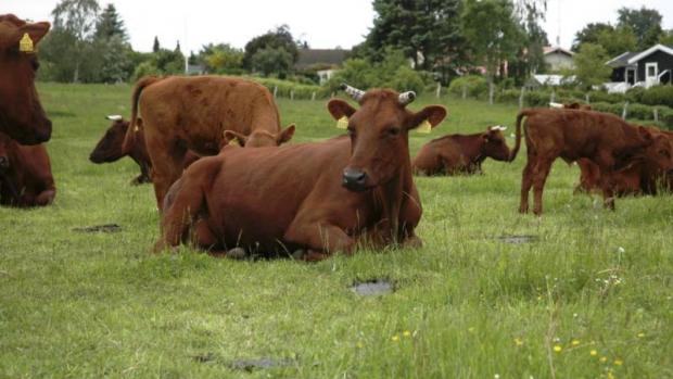 På Thorshøjgård går kalvene sammen med køerne i et halvt år.