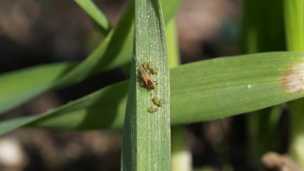 bladlus i vintersæd