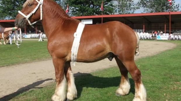 jydske hest