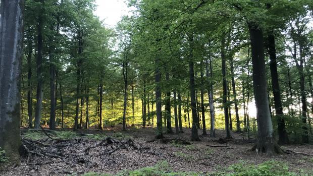 hedeselskabet, skov