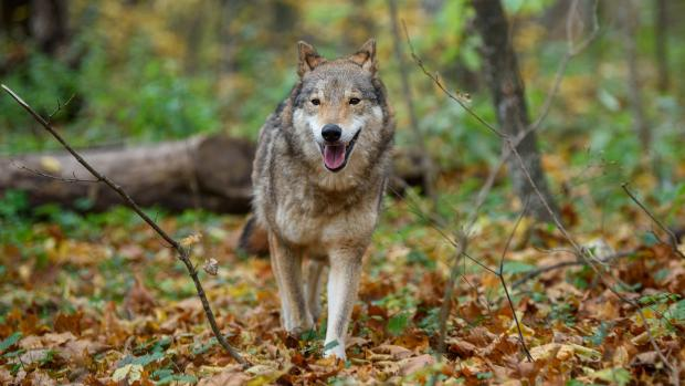 ulv hanulv Holstebro